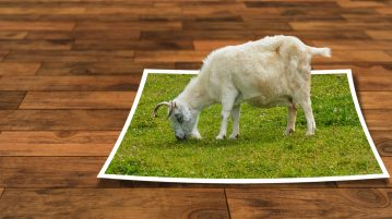 Finding Images. A photoshopped image of a goat eating grass from a photograph of grass with a hardwood floor background