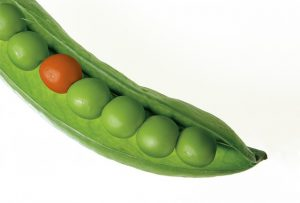 An open pea pod showing six green peas and one red one
